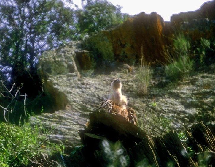 Vulture Peeping