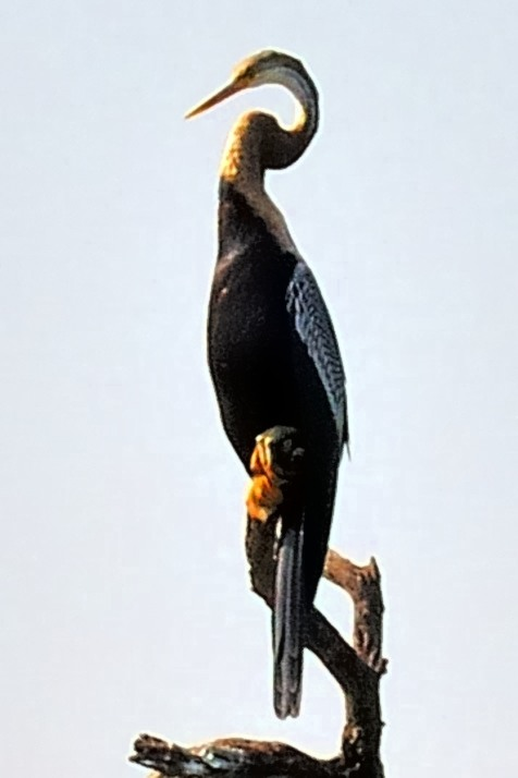 Indian Darter, Anhinga melanogaster Close