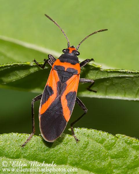 False Milkweed Bug