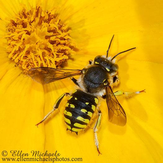 Wool-carder Bee