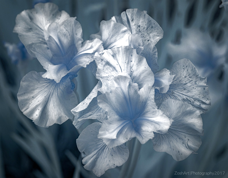 Zosia Miller<br>Infrared Irises