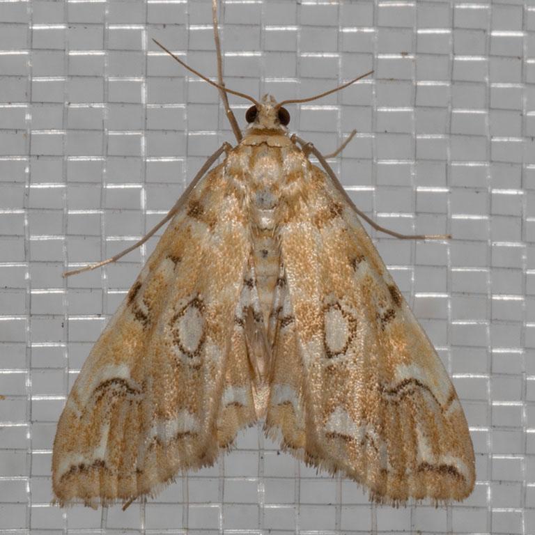 4748PondsidePyralid    (Elophilaicciusalis)