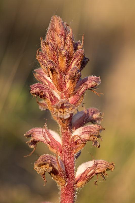 Klöversnyltrot (Orobanche sanguisorba)