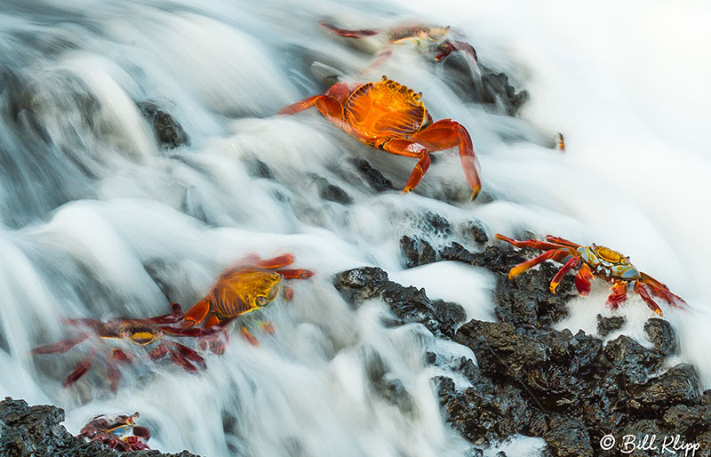 Hanging On --- Sally Lightfoot Crabs  7