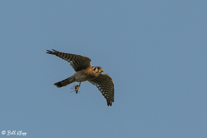 American Kestrel with Dragonfly  4