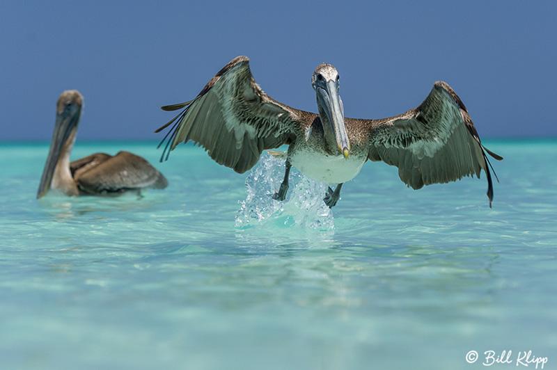 Brown Pelicans, Varadero  3