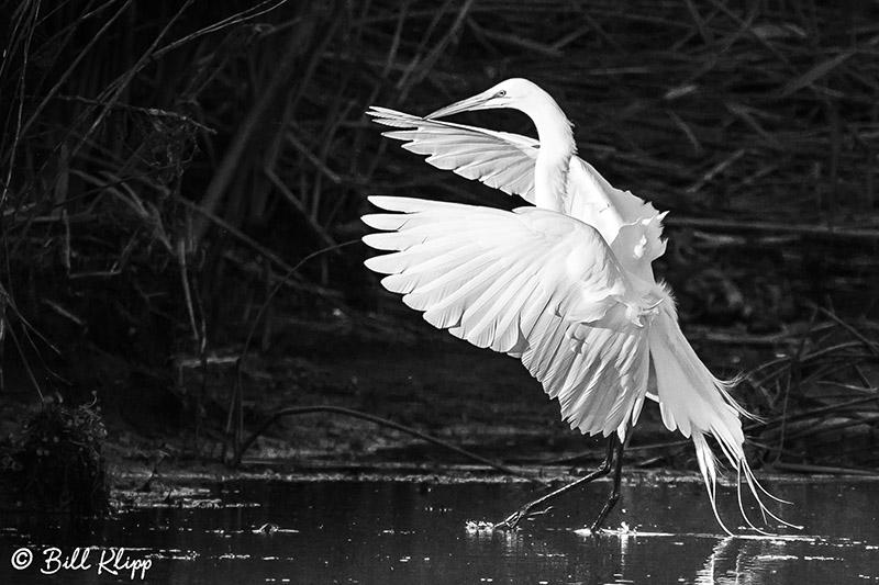 Great Egret  33