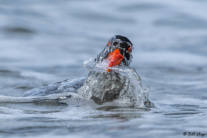 Pied Oyster Catcher Bathing