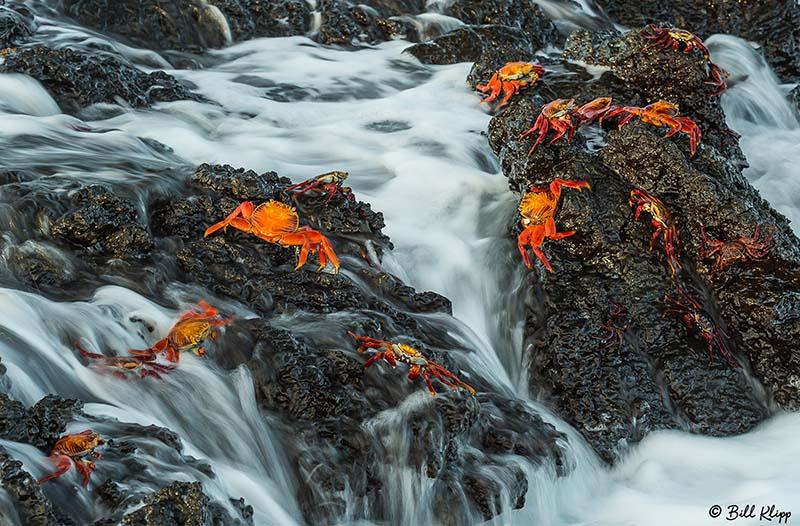 Holding On --- Sally Lightfoot Crabs