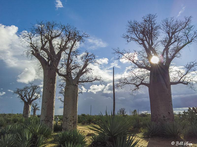 Baobab Trees, Mandrare Forest Lodge  4