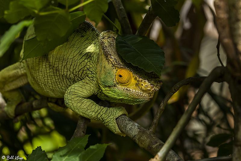 Parsons Chameleon  1