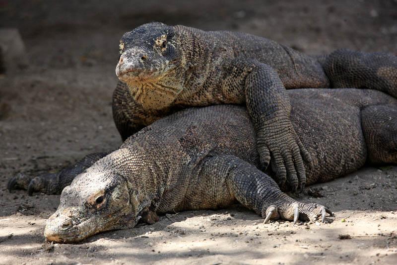 Komodo Dragons, Rinca Island, Indonesia