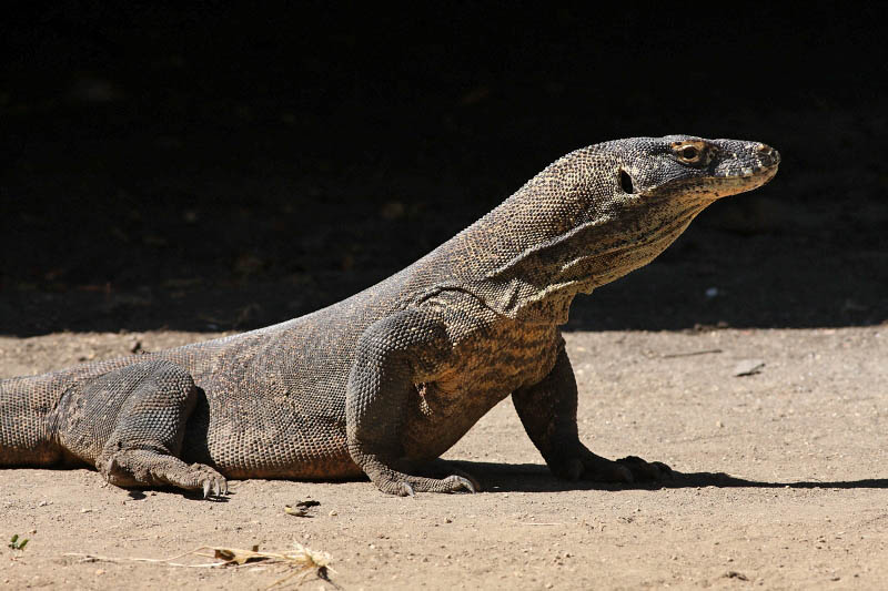 Komodo Dragon, Rinca Island, Indonesia