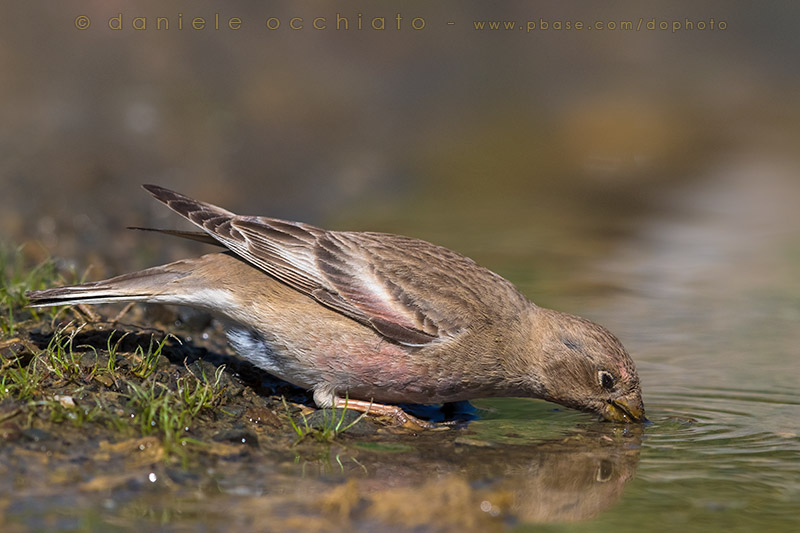 Mongolian Finch (Eremopsaltria mongolica)