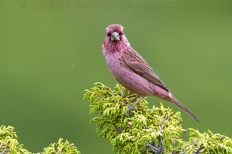 Red-mantled Rosefinch (Carpodacus rhodochlamys)