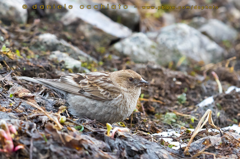 Plain Mountain Finch (Leucosticte nemoricola altaica)