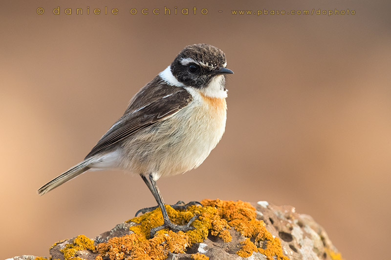 Canary Islands Chat (Saxicola dacotiae)