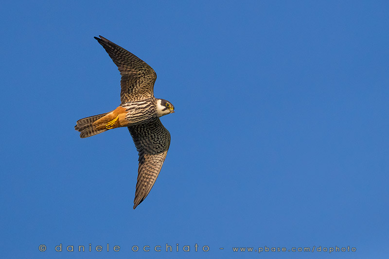 Northern Hobby (Falco subbuteo)
