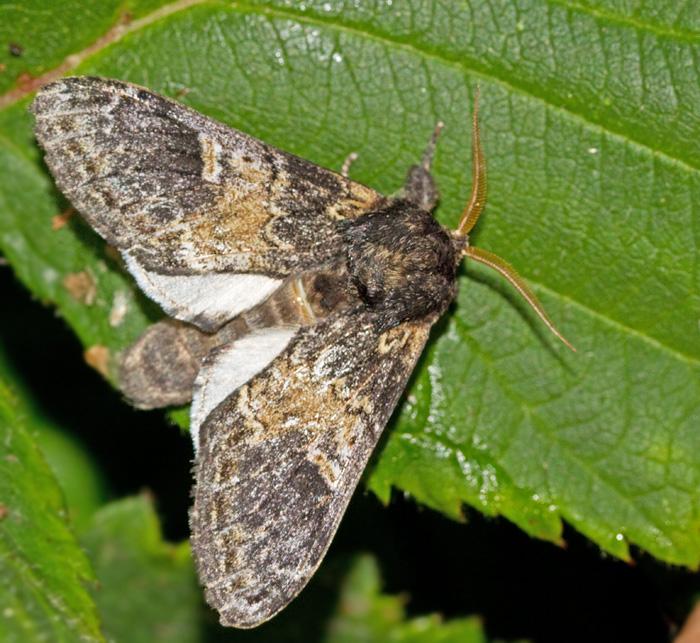 Poppeltandvinge (Notodonta tritophus).jpg