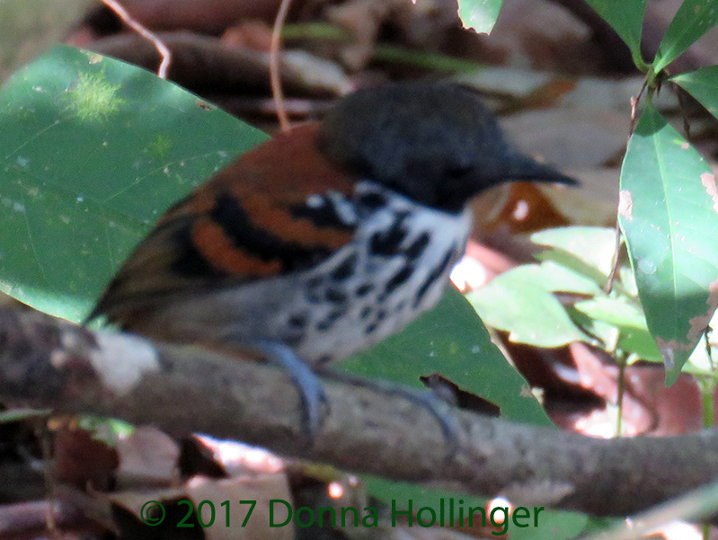 Spotted Antbird Male