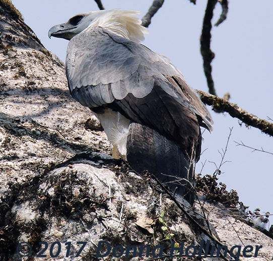 Crested Eagle is more rare than the Harpy Eagle