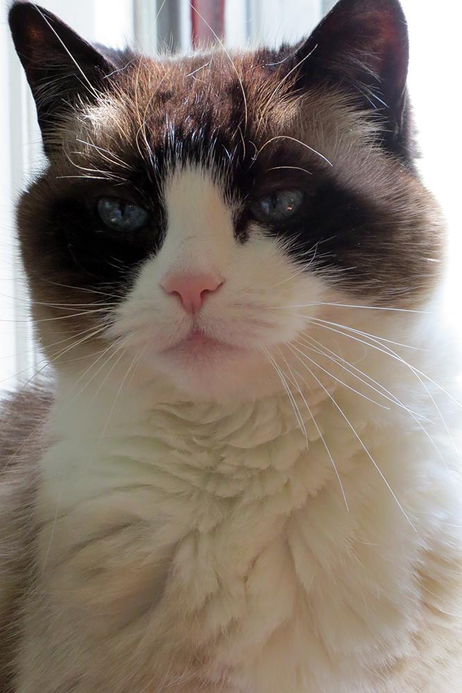 Lilicats Blue Eyes Shining