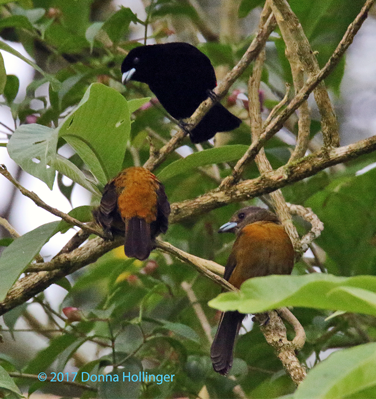 Three Tanagers
