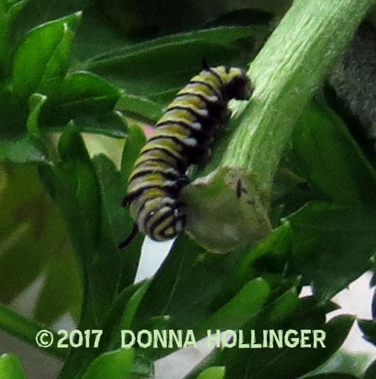 A very small Monarch caterpillar