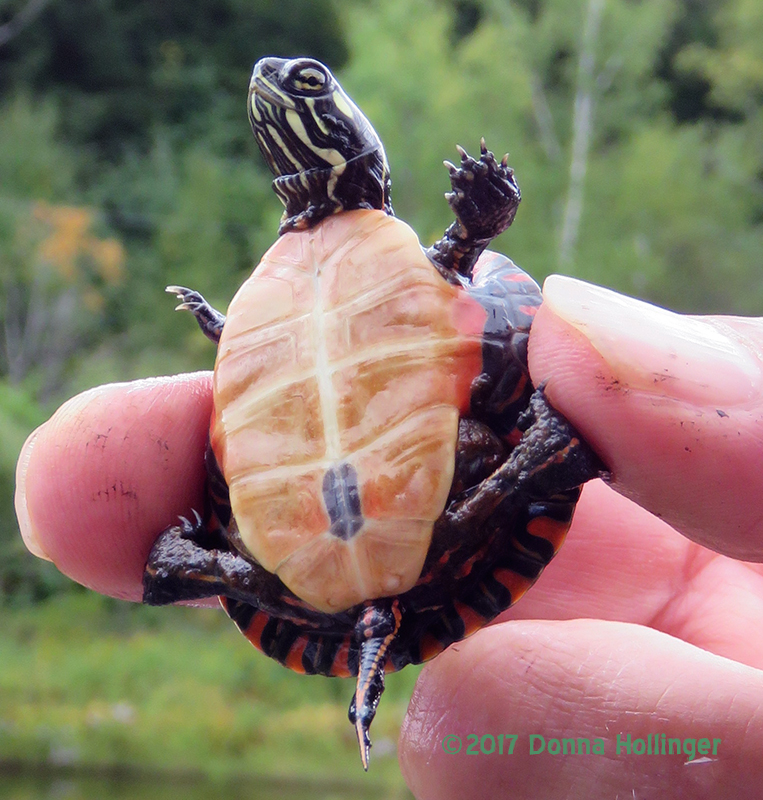 Close Up of a Baby Turtle Rescued by Peter