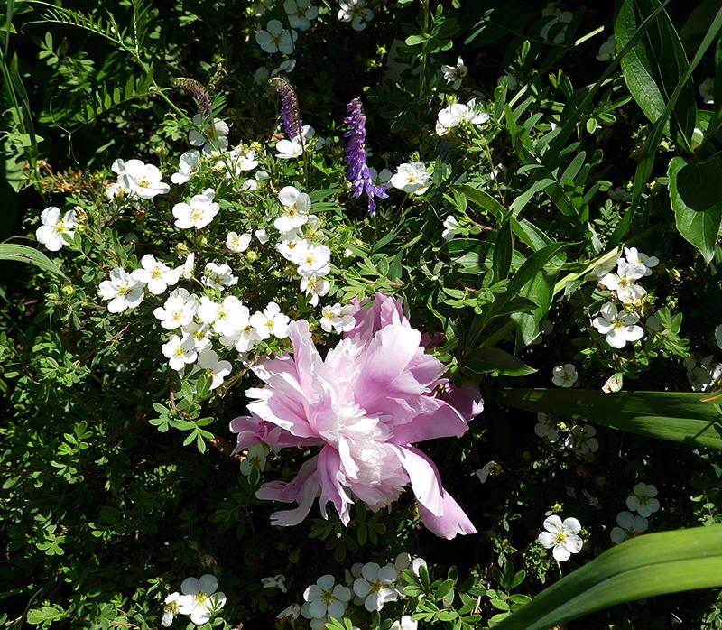 Annis flowers