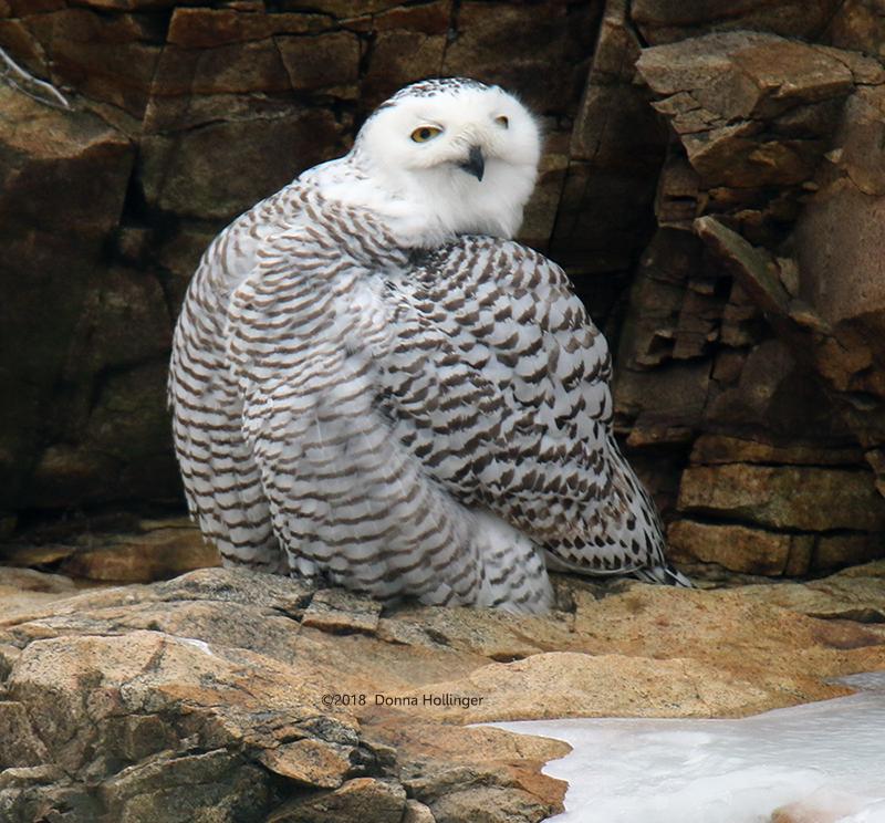 Snowy Owl Female Preening