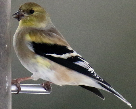 A Very Changeable Goldfinch at a Thistle Feeder in