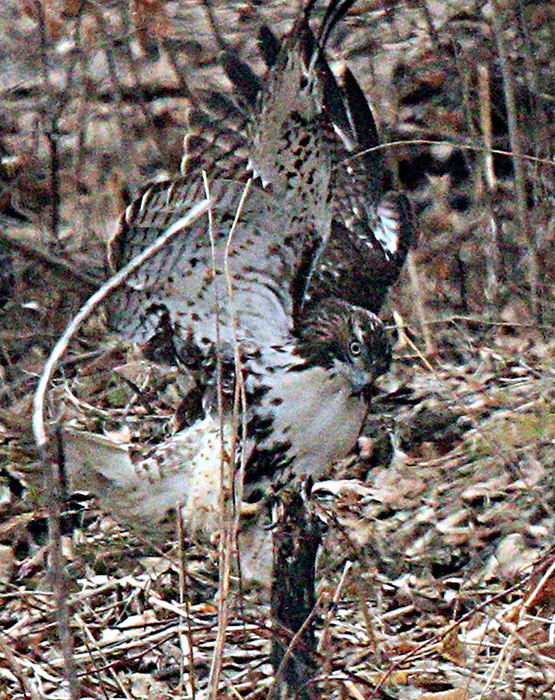 Red Tailed Hawk Struggling with a Mink