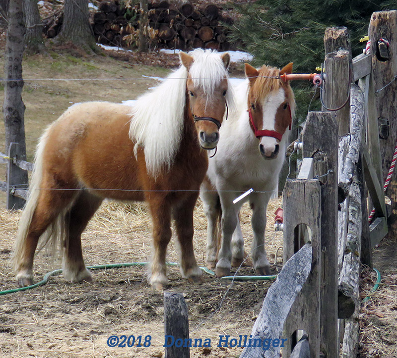 Two Friendly Ponies