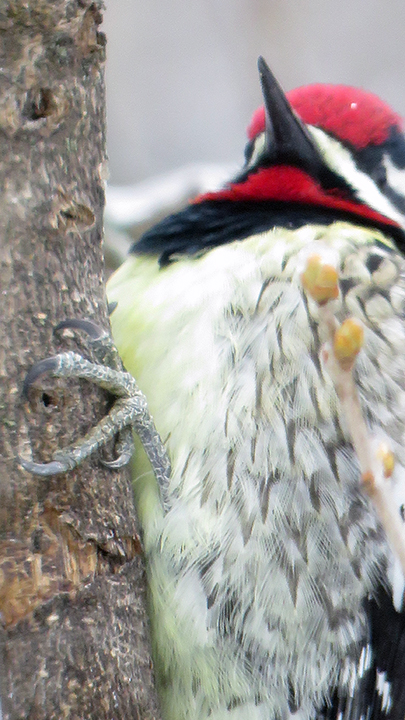 YellowBellied Sapsucker - Just a Glimpse!