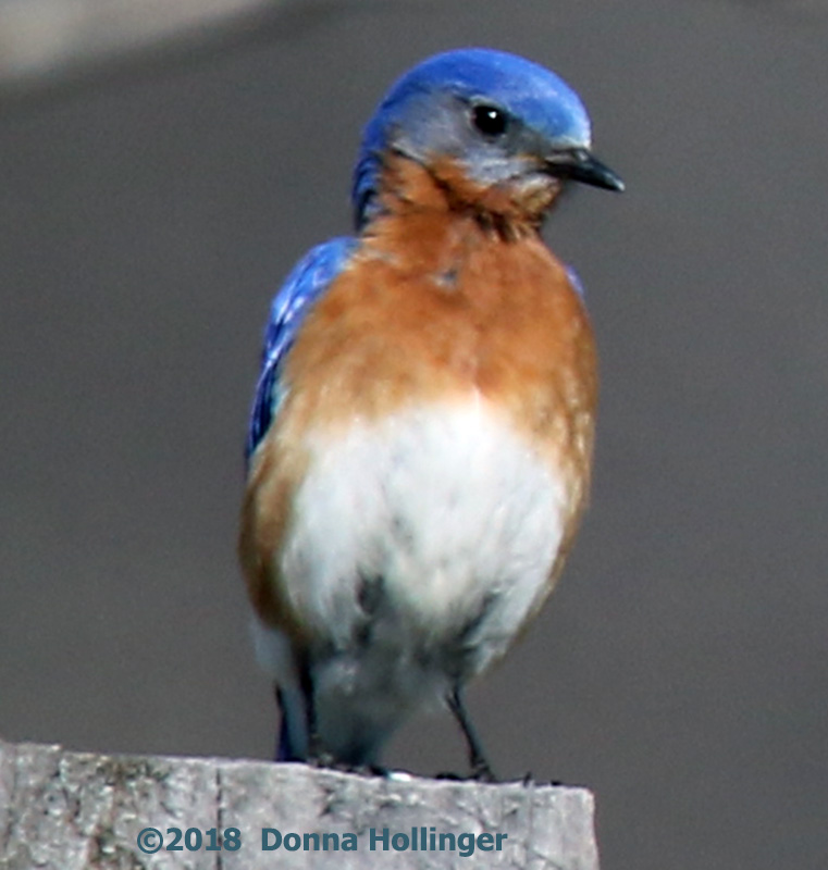 Mr Bluebird Near a Nesting Box