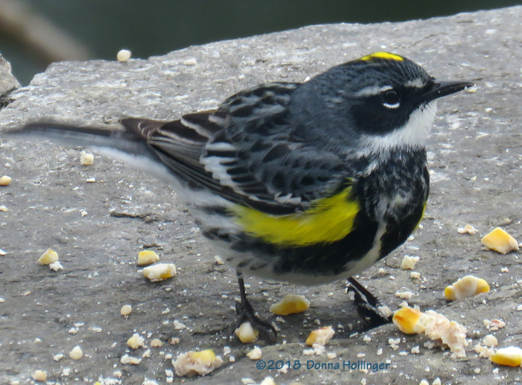 Myrtle Warbler eating suet on the Patio
