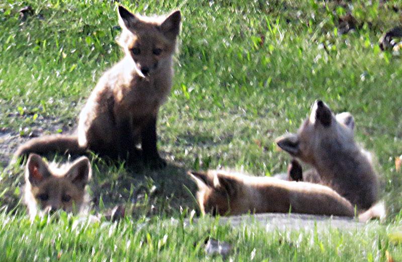 Five Fox Kits, semi hidden in a culvert