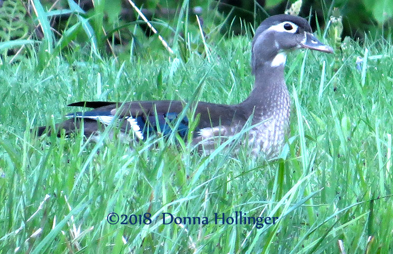 Female Woodduck