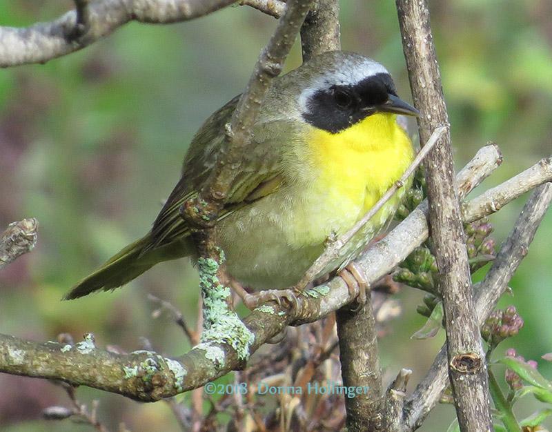 Common Yellow Throat Male
