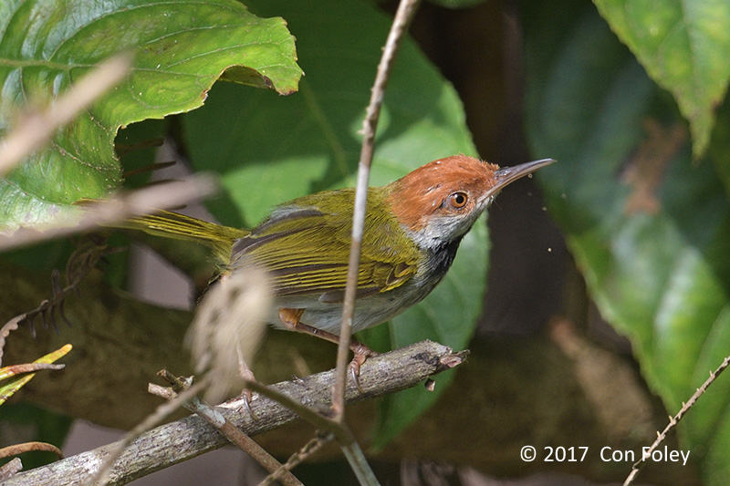 Tailorbird, Dark-necked (male) @ New Road