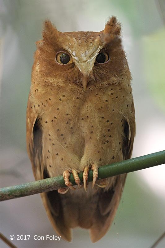 Owl, Serendib Scops (female) @ Sinharaja