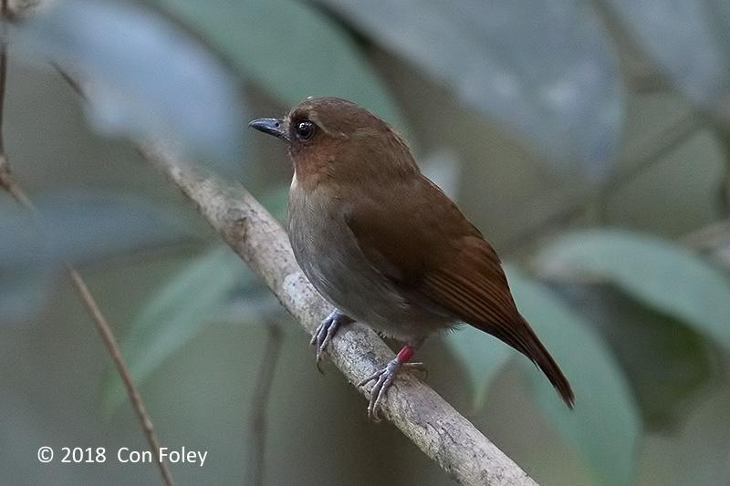 Flycatcher, Eyebrowed Jungle @ Kinabalu