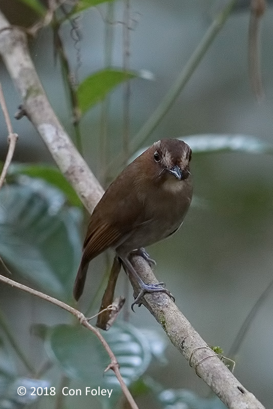 Flycatcher, Eyebrowed Jungle @ Kinabalu