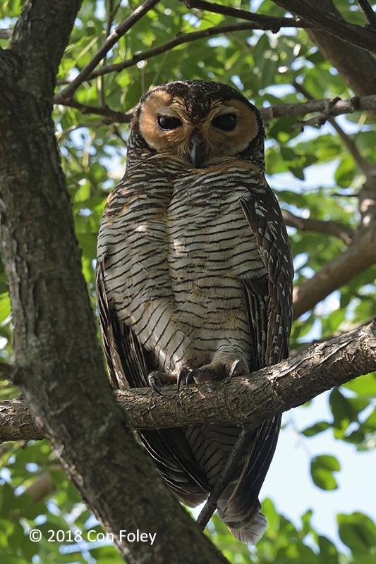 Owl, Spotted Wood @ Pasir Ris Park