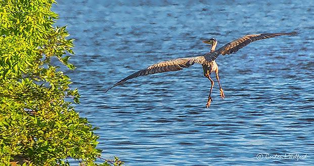 Departing Heron DSCN25973