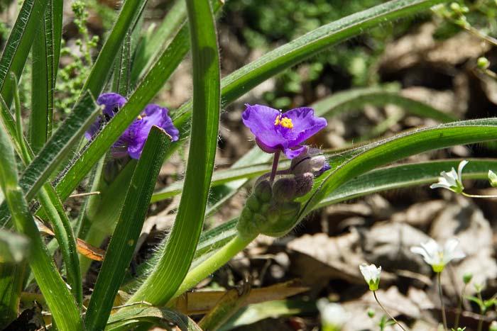 Hairy-stem Spiderwort 2