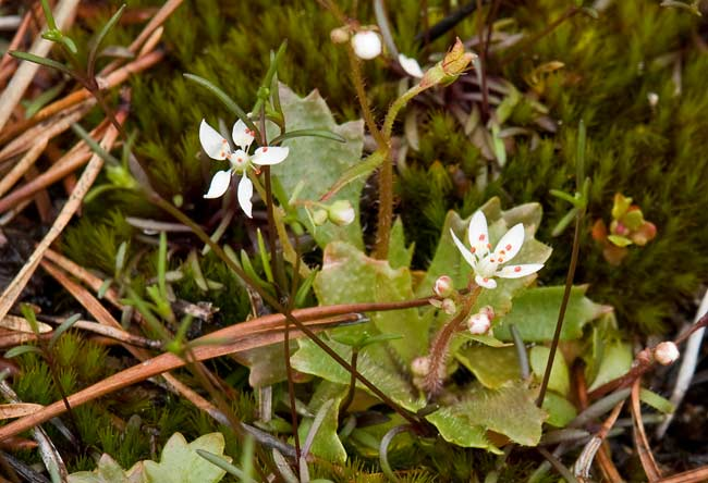 Cliff Saxifrage 2