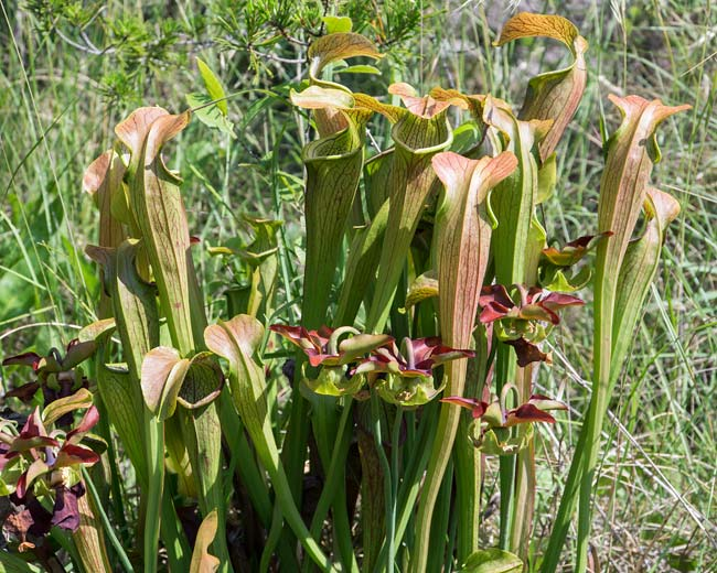 Mountain Sweet Pitcher Plant 2