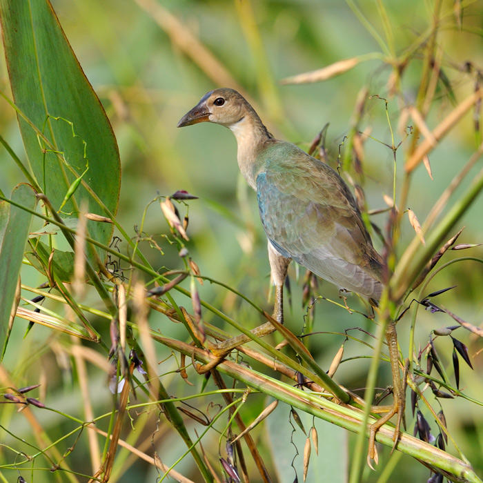 Purple Gallinule female